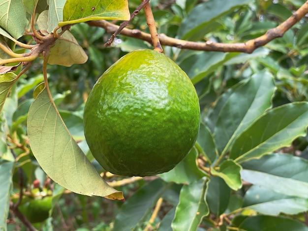 Primo piano di avocado maturo sull'albero sullo sfondo di foglie verdi dell'albero di avocado. stile di vita sano concetto.