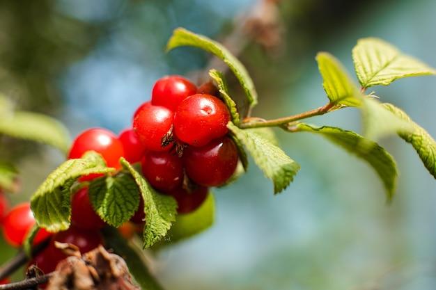 Primo piano di ciliegie mature appese a un ramo di ciliegio in giardino sotto i raggi del sole