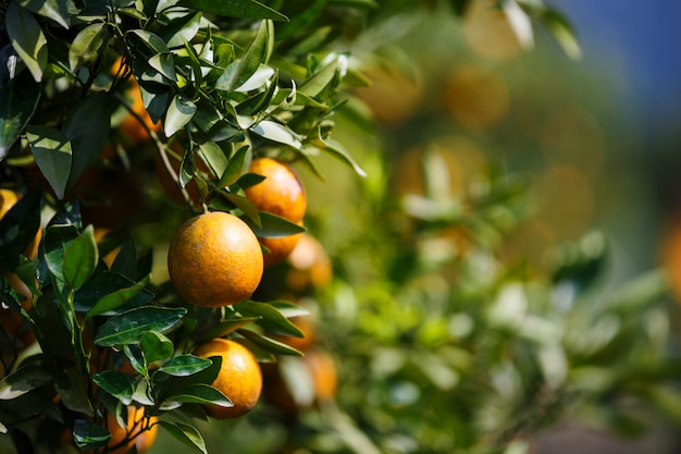 Chiuda sulla frutta matura delle arance che appende sull'albero nel giardino arancio della piantagione, chiangmai, tailandia
