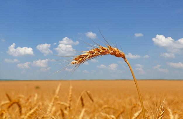 Close up spiga di grano maturo sul campo