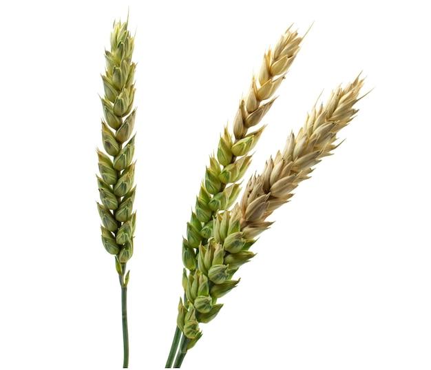 Close-up di maturazione spighe di grano isolato su sfondo bianco.