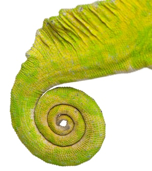 Primo piano della coda arrotolata di un camaleonte a quattro corna - chamaeleo quadricornis
