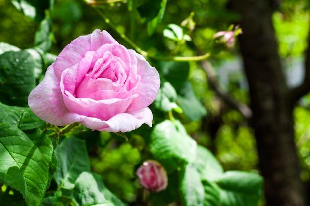Primo piano di rosa centifolia