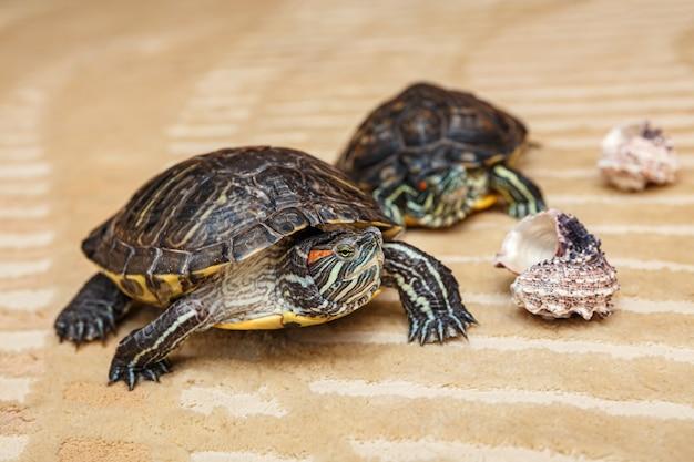 Primo piano sulla tartaruga strofinata che striscia