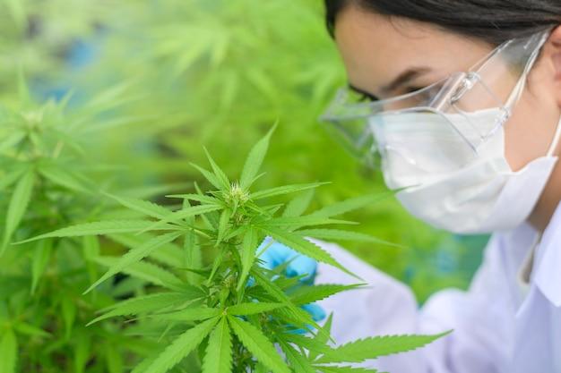 Primo piano di scienziato con guanti e occhiali esaminando pianta di canapa cannabis sativa