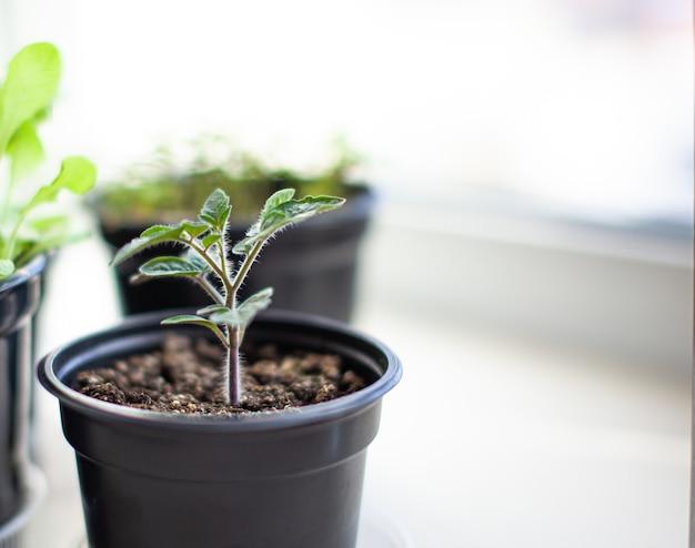 Primo piano di piantine di foglie verdi piccole e sottili di una pianta di pomodoro in un contenitore che cresce al chiuso nel terreno in primavera. piantine sul davanzale