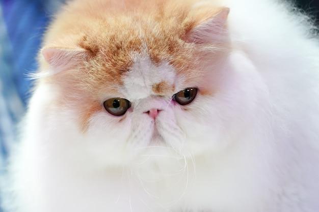 Chiudi il naso corto e la faccia di gatto persiano con lunghi capelli arancioni marroni.