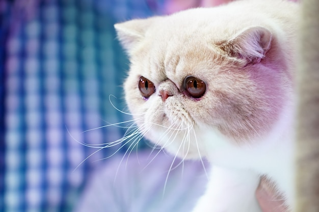 Chiudi il muso corto del gatto persiano, il naso corto e i capelli arancioni marroni con il motivo della tigre su di esso.