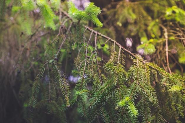 Inquadratura ravvicinata di bellissimi rami di abete rosso verde con coni in crescita