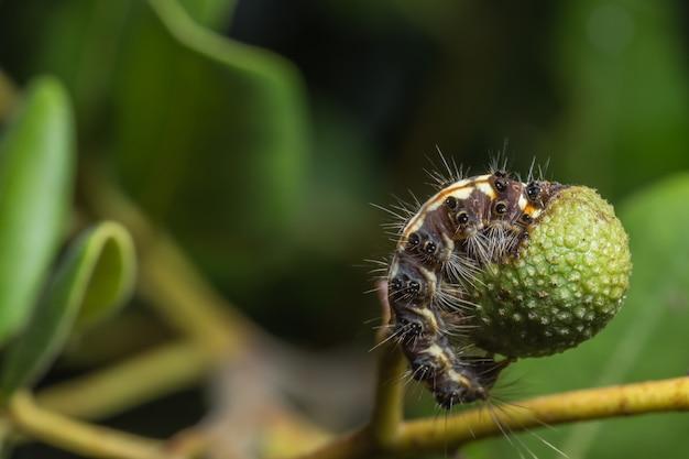 Colpo del primo piano di un bruco che mangia frutta