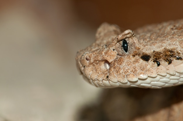 Inquadratura ravvicinata della testa di desert snake