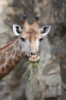 Primo piano di una giraffa che mangia