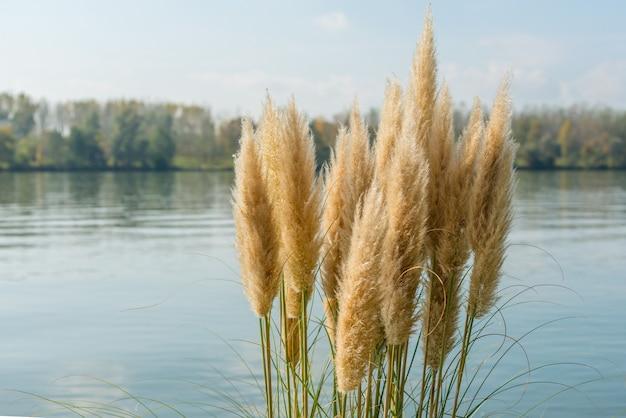 Immagine ravvicinata di phragmites in riva al lago