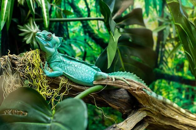 Inquadratura ravvicinata di un'iguana turchese seduto su un ramo con uno sfondo sfocato.