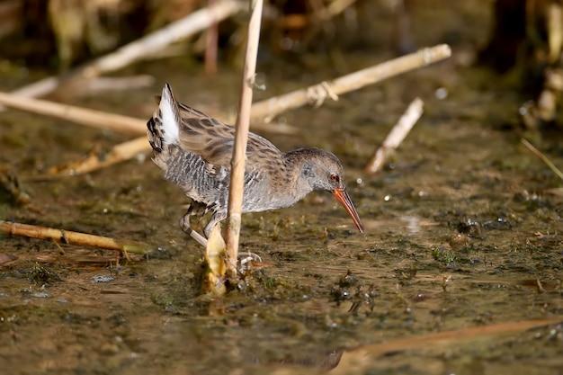 Inquadratura ravvicinata del porciglione (rallus aquaticus) in piumaggio invernale durante la caccia sull'acqua