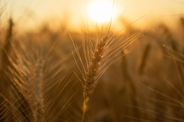 Primo piano del grano al tramonto