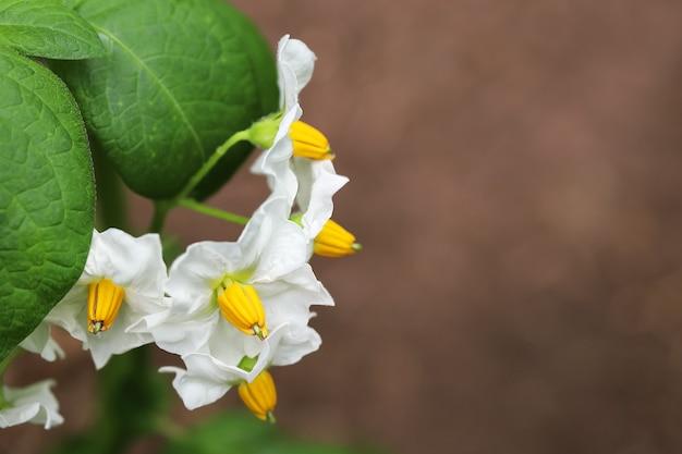 Primo piano sparato di fiori di patata bianca con foglie verdi su sfondo di terra