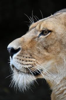 Chiuda sul ritratto laterale della leonessa africana femminile