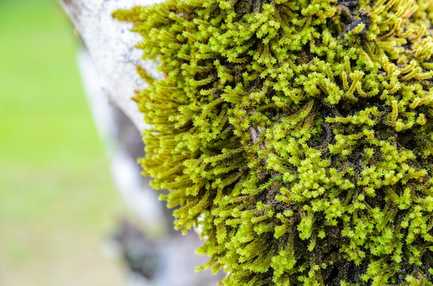 Close up piccolo muschio verde cresce su grandi alberi
