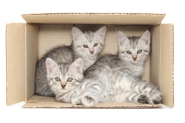 Chiudere i piccoli gattini in una scatola di cartone