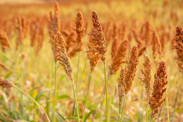 Primo piano sulla piantagione di sorgo pronto per il raccolto