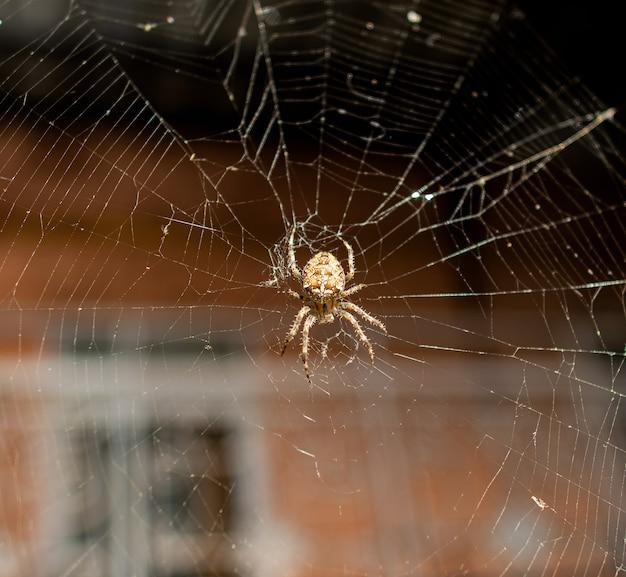 Primo piano del ragno nel web