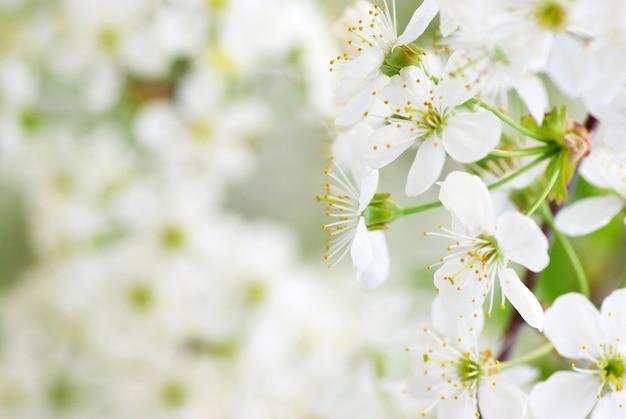 Primo piano dei fiori di ciliegio primaverili