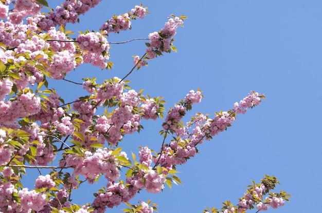 Primo piano del fiore di primavera ciliegio