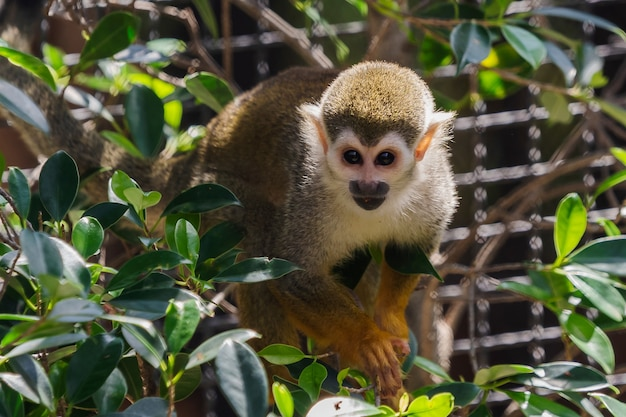 Chiuda sulla scimmia di scoiattolo nello zoo