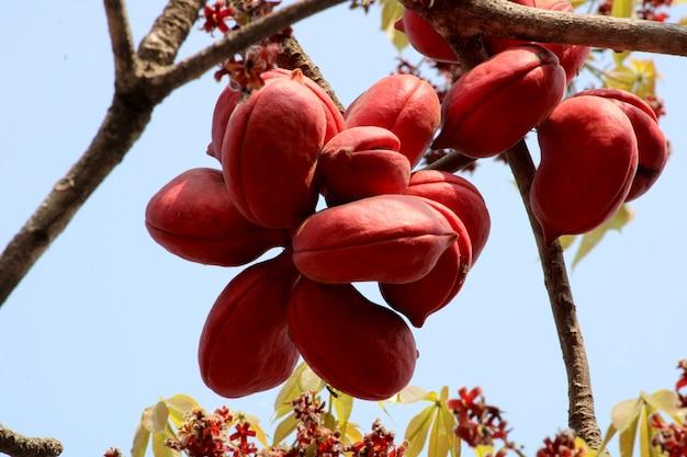Close up sterculia foetida (bastard poon tree) frutti.