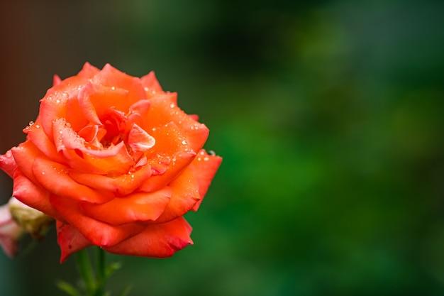 Foto di stock di primo piano di una bella rosa rossa in fiore che cresce nel giardino