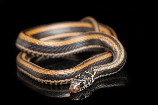 Primo piano del serpente keelback a strisce