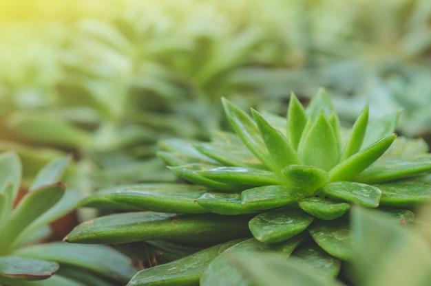 Close up succulenta echeveria pianta in mini vaso, le foglie vengono compresse in strati. piante succulente in miniatura (cactus succulenti). giardino botanico, floricoltura, concetto di industria orticola