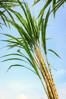 Chiuda sulla canna da zucchero in piantagione in tailandia