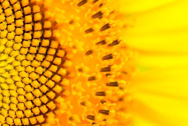Chiuda in su della struttura del girasole. sfondo di fiori biologici e naturali.