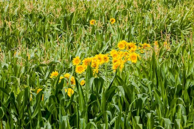 Primo piano su girasole con petali gialli