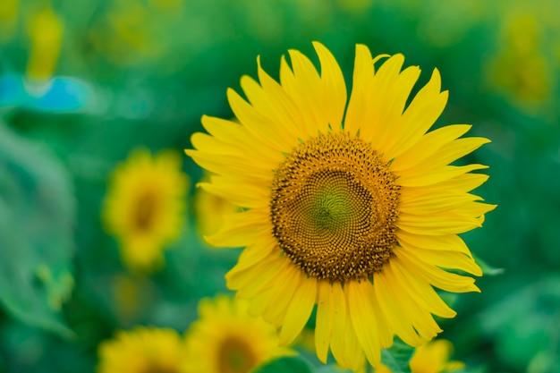 Primo piano di girasoli che sbocciano con fiori gialli