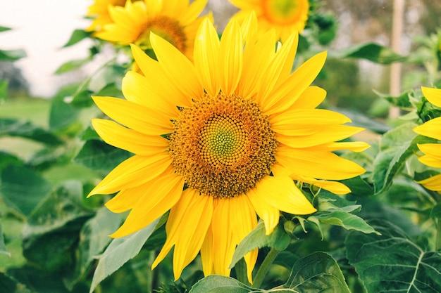 Primo piano dei girasoli e del fiore giallo sul parco