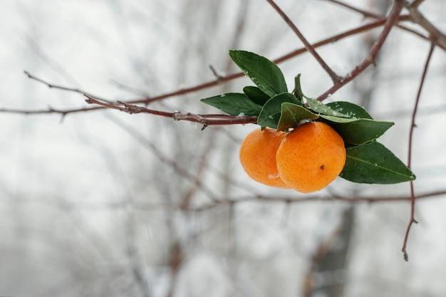 Primo piano sui mandarini appesi ai rami di betulla in una giornata invernale nevosa