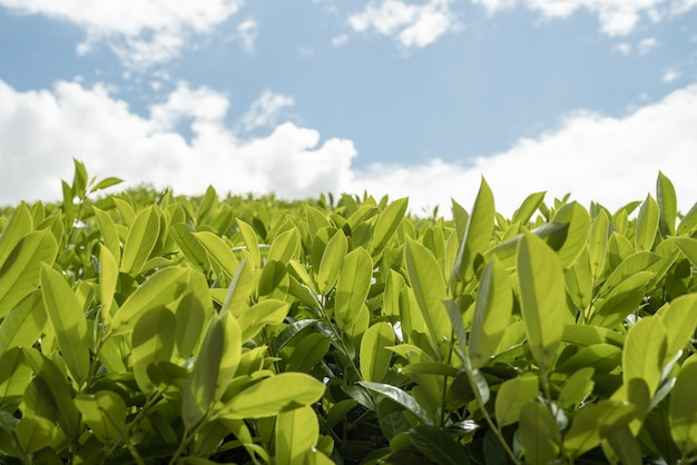 Chiudere le foglie di tè con la luce del sole del mattino.