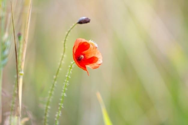 Close-up di tenero fioritura splendidamente illuminato dal sole estivo rosso papavero selvatico e gemma di fiore non diluito su stelo alto su sfocato sfondo verde brillante estate. bellezza e tenerezza del concetto di natura.