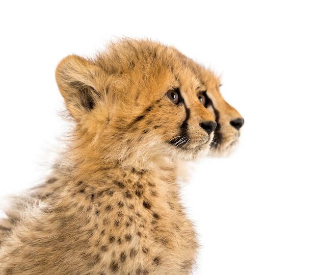 Primo piano su un cucciolo di ghepardo di tre mesi, isolato su bianco