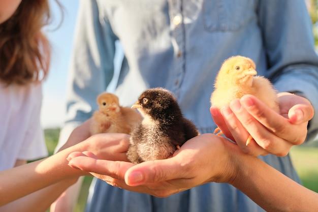 Primo piano di tre polli appena nati nelle mani dei bambini e della madre