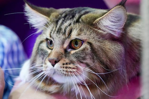 Chiudere la faccia di gatto tigre e lunghi baffi lunghi capelli bianco-castani.