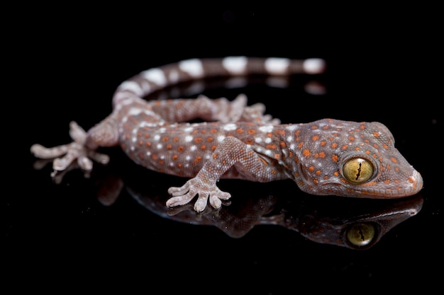 Close up tokay gecko
