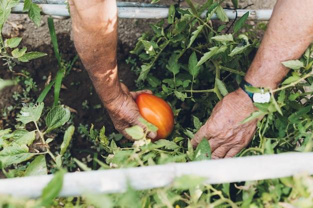 Primo piano di un pomodoro nella pianta che sta per essere colto da un uomo più anziano. uomo più anziano che raccoglie pomodori maturi dal suo frutteto.