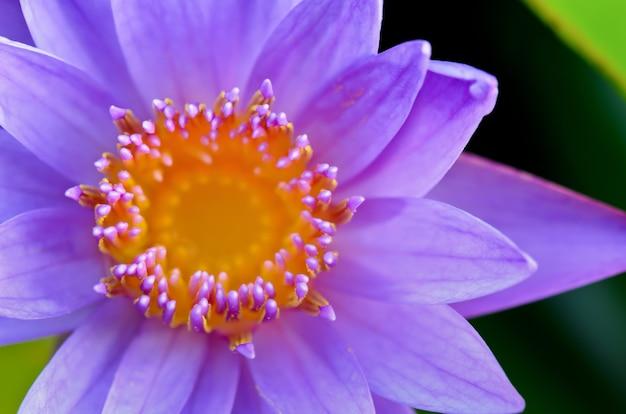 Primo piano di purple lotus ( nymphaea nouchali ) , bellissimo fiore in thailandia