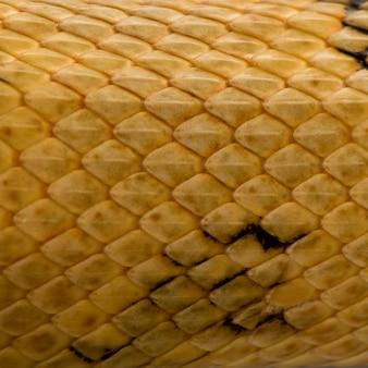 Primo piano delle scale del serpente del ratto di trans-pecos, bogertophis subocularis