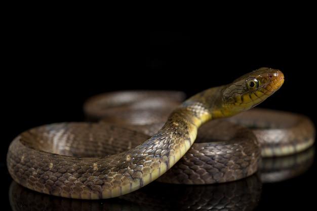 Close-up del triangolo keelback serpente