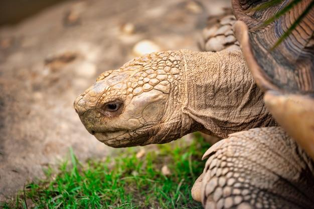 Chiuda sulle tartarughe che camminano sull'erba